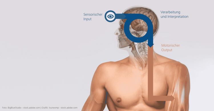 Abb. 1: Input – Interpretation – Output (modifiziert nach Lienhard, 2019, S. 9) – Grundlagen des Neuroathletiktrainings